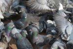 """Mercato coperto, chiusura di 15 giorni per posizionare le reti """"anti-piccioni"""""""