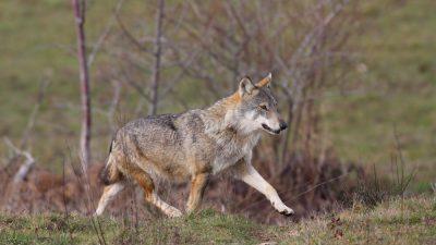 """Movimento 5 Stelle: """"Serracchiani si opponga al piano di abbattimento dei lupi"""""""